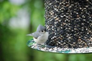 Tufted Titmouse at a Wire Feeder