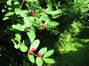 Red Fire Thorn Berries